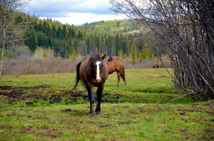 Horses & Cattle