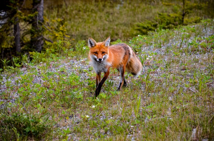 Foxes in Kootenay National Park